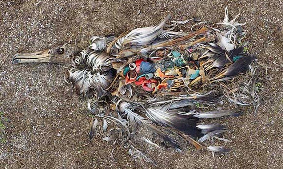 Øen Midway midt i Stillehavet er hjemsted for Albatrossen. Her dør mange tusind baby-albatrosser hvert år, med maven fuld af plastikaffald fra Pacific Garbage Patch. Foto: Chris Jordan