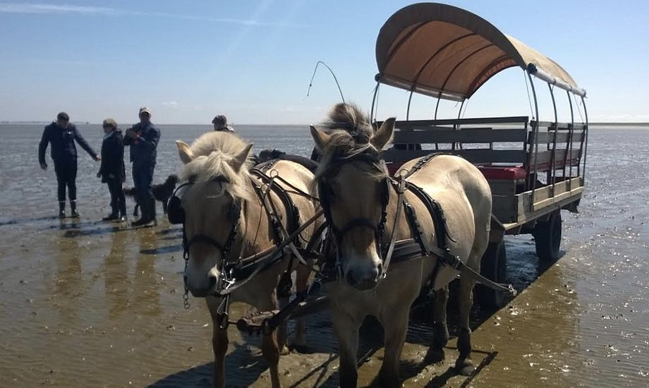 En af de danske småøers unikke oplevelser er østerssafari med hestevogn på Mandø. Foto: Mandø Event