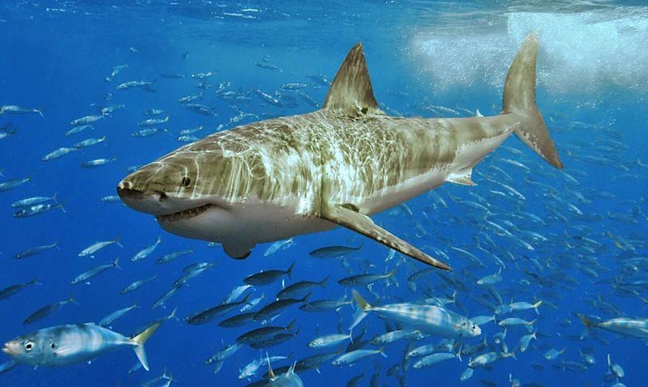 Det er sådan en fyr, man kan være uheldig at møde ved Australiens kyst. Foto: wikipedia